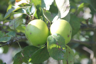 Bramley apples in the cottage garden